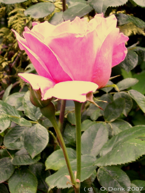 Růže Rose Mary