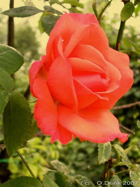 Růže Super Star